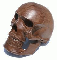 フルサイズの頭蓋骨